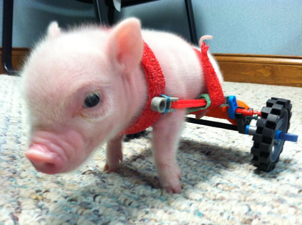 chris p bacon Pyörätuolia käyttävä Chris P Bacon  possu hurmaa netissä