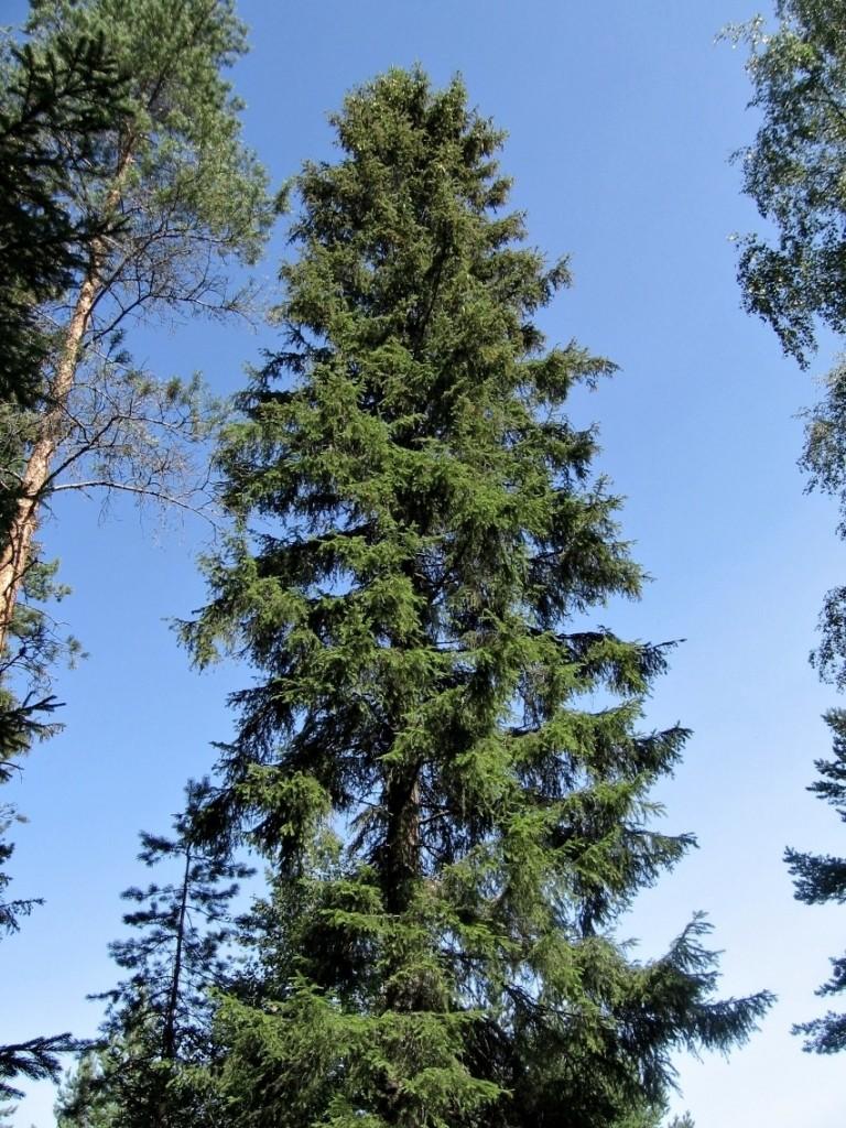 kuusi 768x1024 Hurja harrastus   72 vuotias Oili kiipeilee puuhun laulamaan