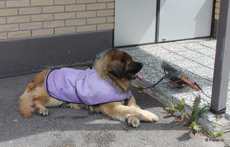 IMG 2995 Poliisin toiminnasta kohu   Jätti loukkaantuneen koiran tienposkeen