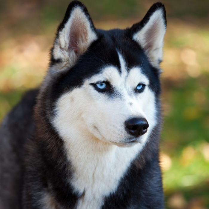 siberian husky medium Kaksivuotias tyttö kuoli koiranpuremaan