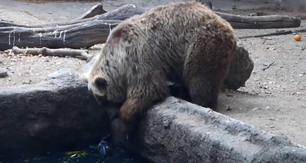 BEAR SAVES 620x330 Uskomaton näky   Karhu pelasti variksen lammesta