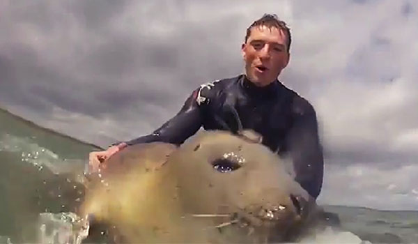 surfing seal Söpö hylje lautailee surffarin kanssa