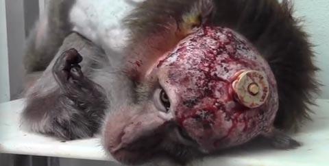 apina21092014c Ei herkille   Koe eläinlaboratoriosta traaginen video