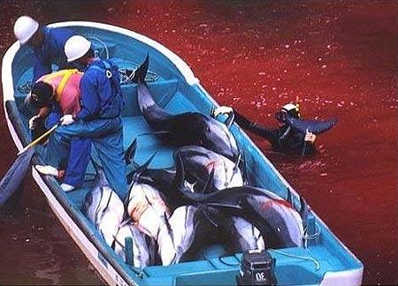delfiinitjapani22012014 Delfiinien joukkoteurastus alkoi Japanissa